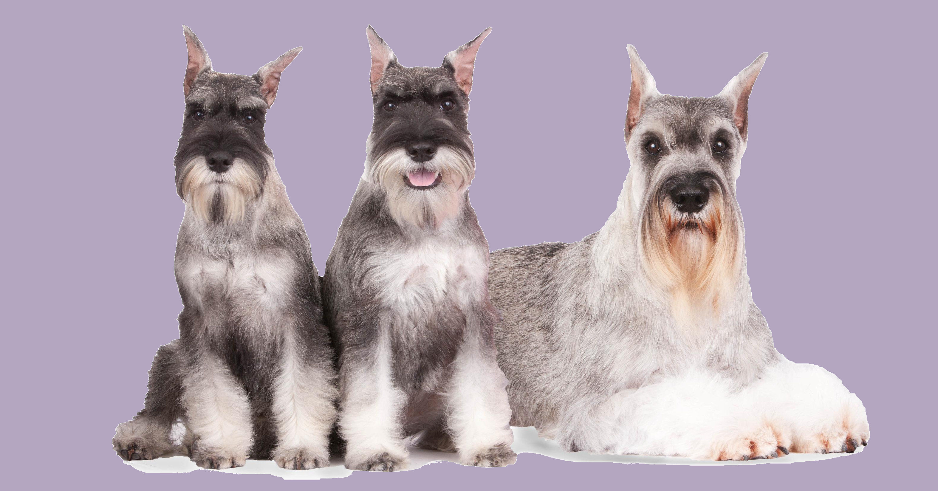 Shana Schnauzers Bred For Health Temperament And Structure